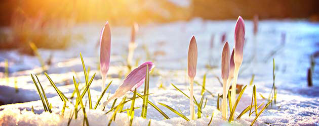 Winterblüher setzen Farbakzente bei Eis und Schnee : Farbtupfer im Winter